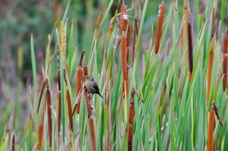 Oiseau de Brown, connu sous le nom de pardal, se reposant juste photo libre de droits