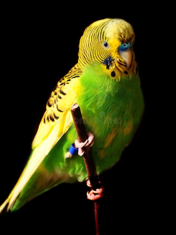 Oiseau de Budgie photographie stock