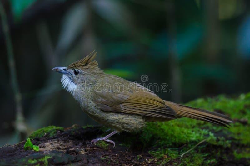 Oiseau de Bulbul d'Ochraceous et x28 ; Ochraceus& x29 d'Alophoixus ; photo stock