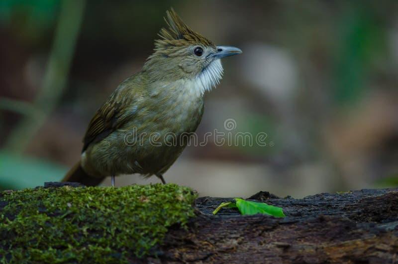 Oiseau de Bulbul d'Ochraceous et x28 ; Ochraceus& x29 d'Alophoixus ; images stock
