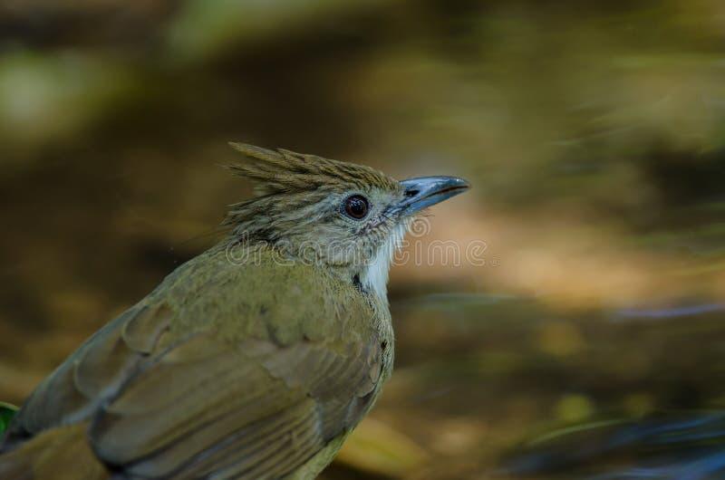 Oiseau de Bulbul d'Ochraceous et x28 ; Ochraceus& x29 d'Alophoixus ; photos libres de droits