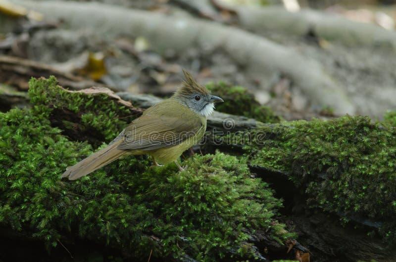 Oiseau de Bulbul d'Ochraceous et x28 ; Ochraceus& x29 d'Alophoixus ; images libres de droits
