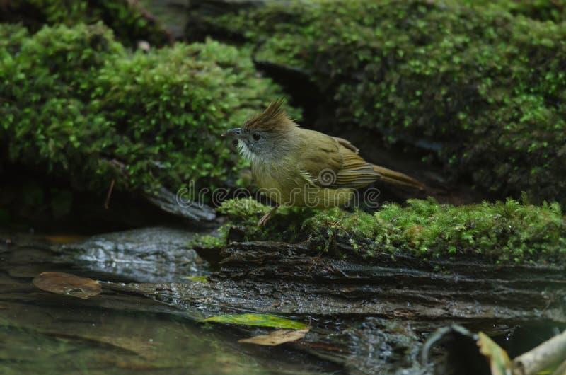 Oiseau de Bulbul d'Ochraceous et x28 ; Ochraceus& x29 d'Alophoixus ; photographie stock