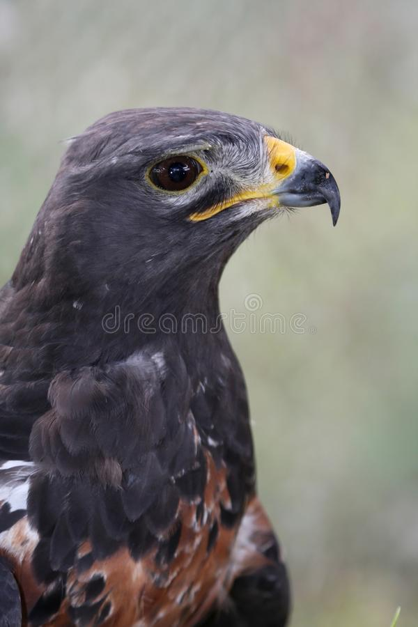 Oiseau de Buzzard de chacal photo stock
