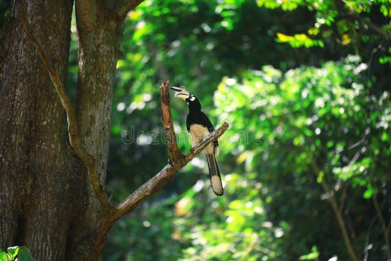 Oiseau de calao sur la branche photographie stock libre de droits