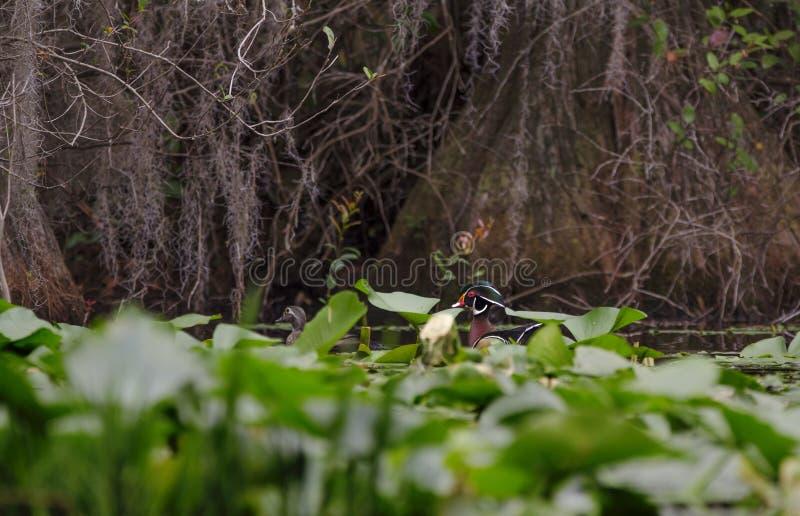 Oiseau de canard en bois, réserve de ressortissant de marais d'Okefenokee photo libre de droits