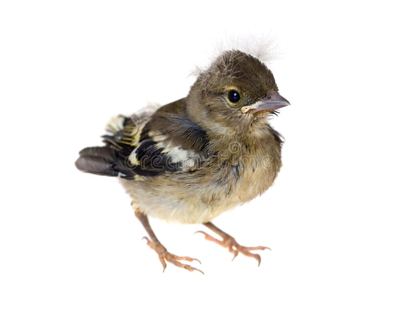 Oiseau de chéri d'un chaffinch photos stock