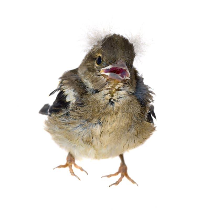 Oiseau de chéri d'un chaffinch image libre de droits