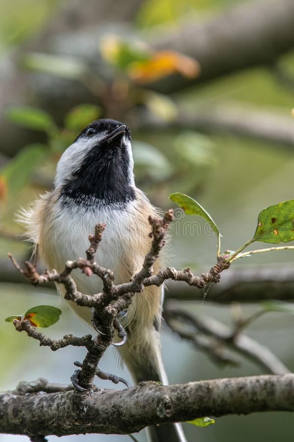 Oiseau de chanson en nature image libre de droits