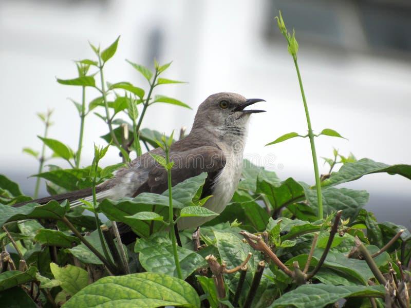Oiseau de chant Thrasher sur une haie photos libres de droits