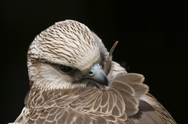 Oiseau de cherrug de falco de faucon de Saker de proie image stock