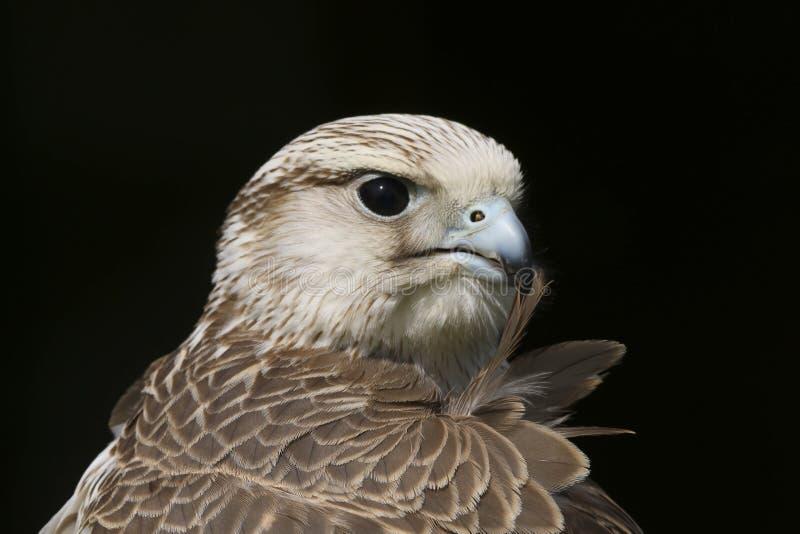 Oiseau de cherrug de falco de faucon de Saker de proie photographie stock libre de droits