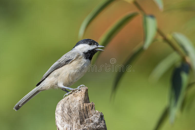 Oiseau de Chickadee images stock