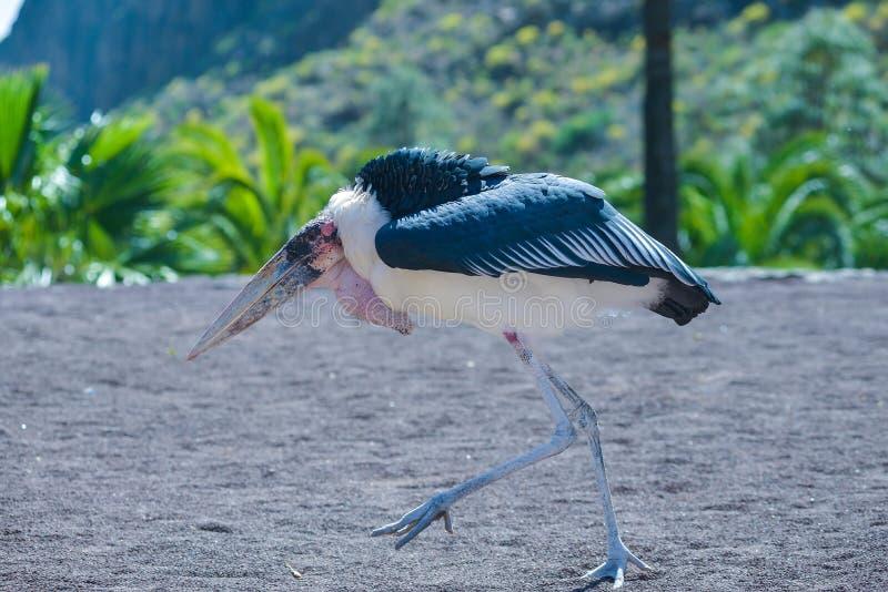 Oiseau de cigogne de marabout dans les oiseaux de l'exposition de proie au parc de Palmitos dans Maspalomas, mamie Canaria, Espag photos libres de droits