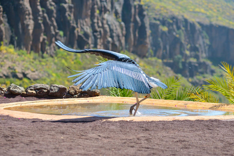 Oiseau de cigogne de marabout dans les oiseaux de l'exposition de proie au parc de Palmitos dans Maspalomas, mamie Canaria, Espag photo stock