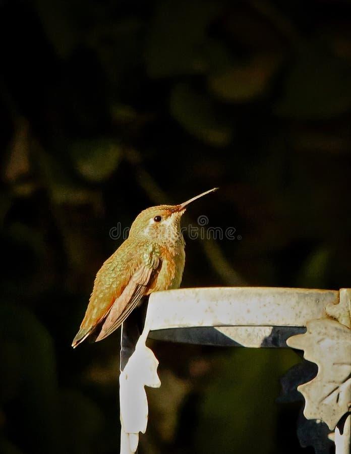 Oiseau de colibri image stock
