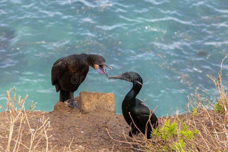 Oiseau de cormorans sur le bluff image stock