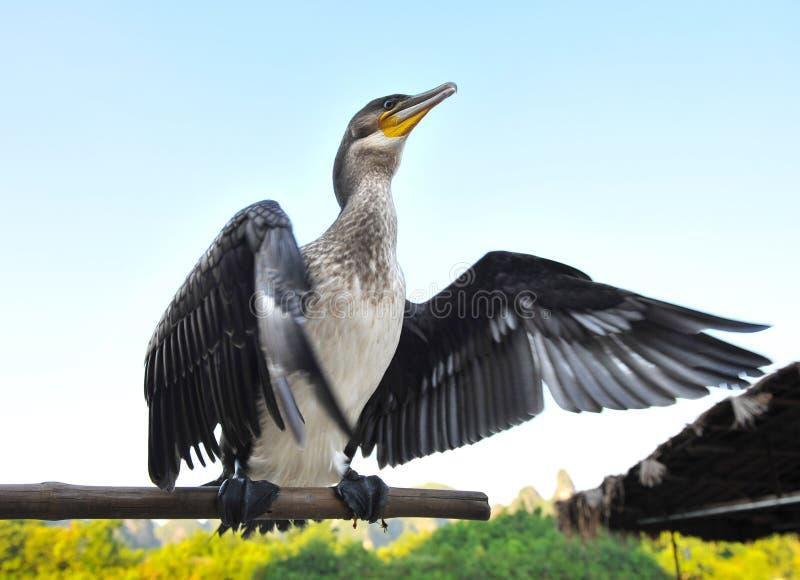 Oiseau de Cormorant photos libres de droits