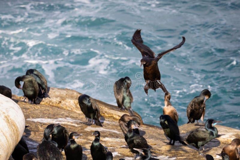 Oiseau de Cormorant entrant pour une plage de débarquement de La Jolla, San Diego, la Californie, photographie stock