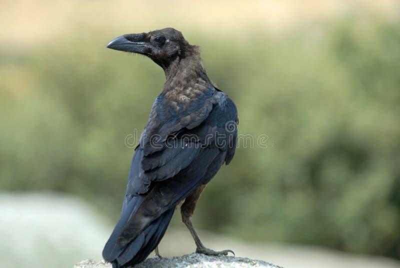 Oiseau de corneille photo libre de droits
