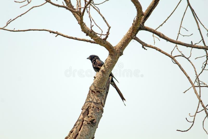 Oiseau de coucou sur l'oiseau d'arbre-Koyal image libre de droits
