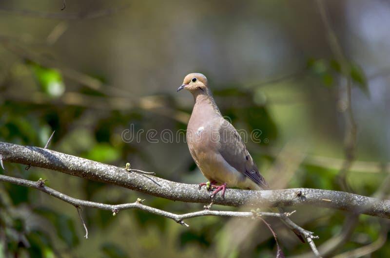 Oiseau de deuil de colombe, Walton County Monroe Georgia images libres de droits
