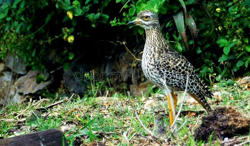 Oiseau de Dikkop repéré par cap photos libres de droits