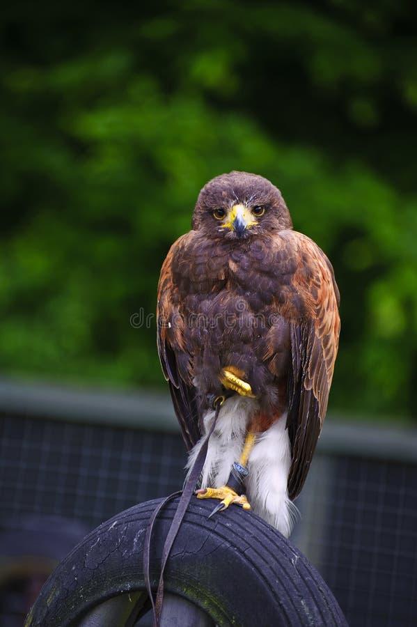 Oiseau de faucon de Harris de proie pendant l'affichage de fauconnerie photo libre de droits