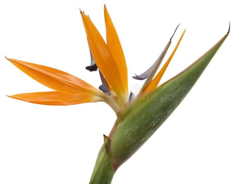 Oiseau de fleur de paradis image stock image du objets - Fleur oiseau de paradis ...