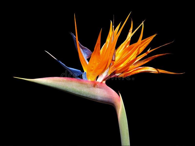 Oiseau de fleur de paradis (Strelitzia) images libres de droits