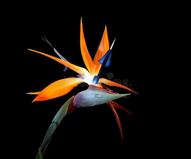 Oiseau de fleur de paradis mauvais cheveux jour noir fond photo libre de droits