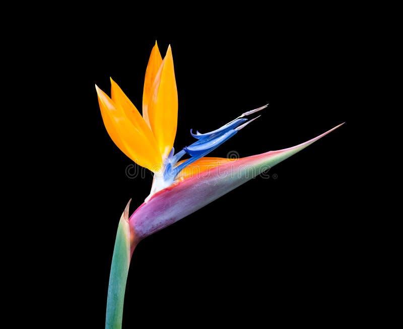 Oiseau de fleur paradisiaque fond noir image stock