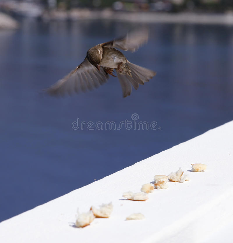 Oiseau de Flighing, regardant des breamdcrumbs photographie stock