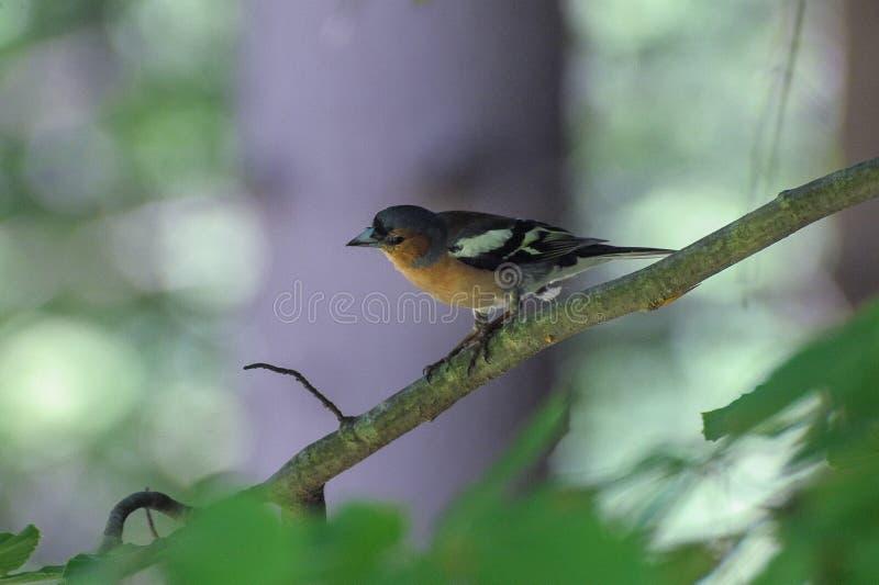 Oiseau de FLYCATCHER photographie stock libre de droits