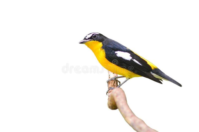 Oiseau de FLYCATCHER rumped par jaune photo libre de droits