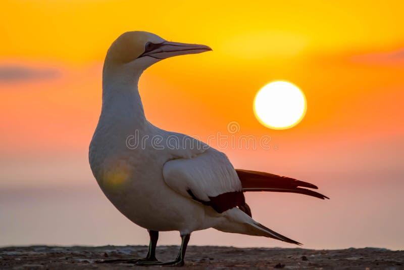 Oiseau de fou de Bassan de colonie de fou de Bassan aux ravisseurs de cap au lever de soleil dans la baie de Hawkes près de Hasti photographie stock