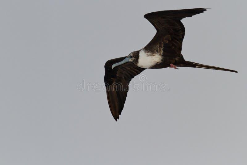 Oiseau de frégate image libre de droits