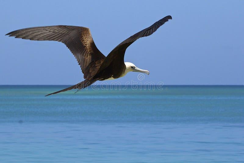 Oiseau de frégate au vol, des Caraïbes photos stock