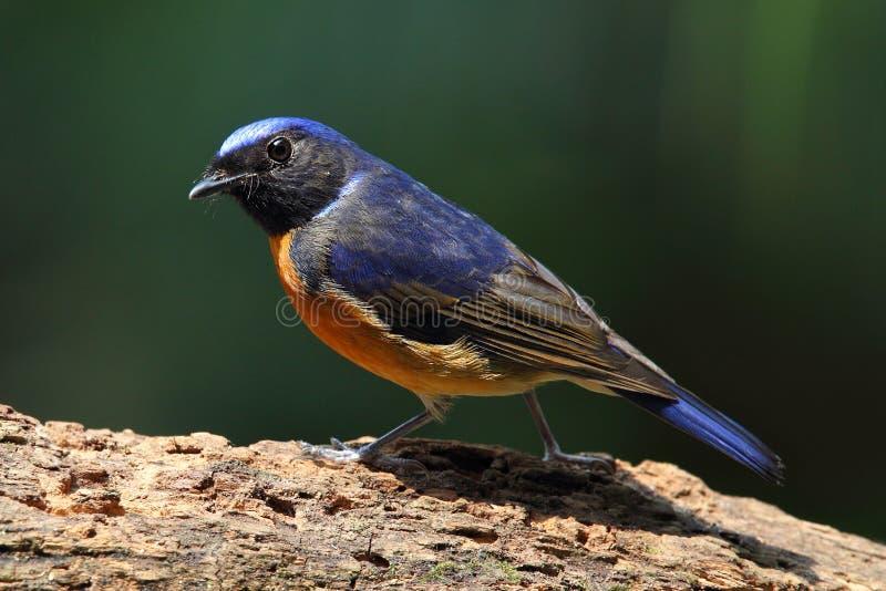 Oiseau de Fujian Niltava photos libres de droits