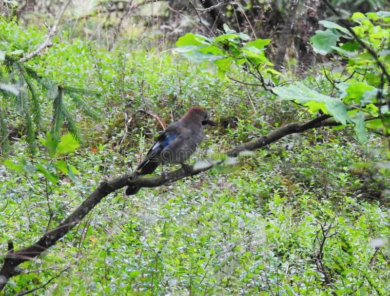 Oiseau de geai sur la branche d'arbre, Lithuanie photos stock