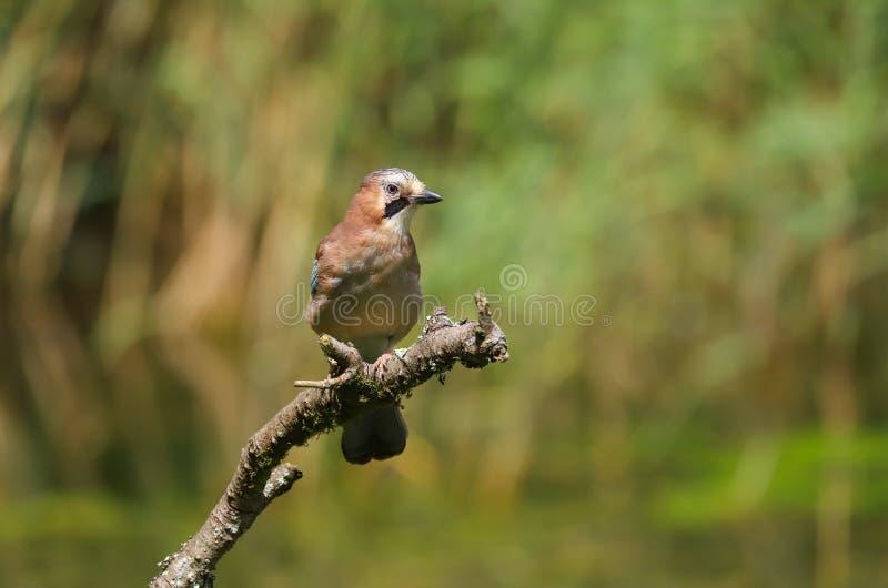 Oiseau de glandarius de Jay Garrulus d'Européen images stock