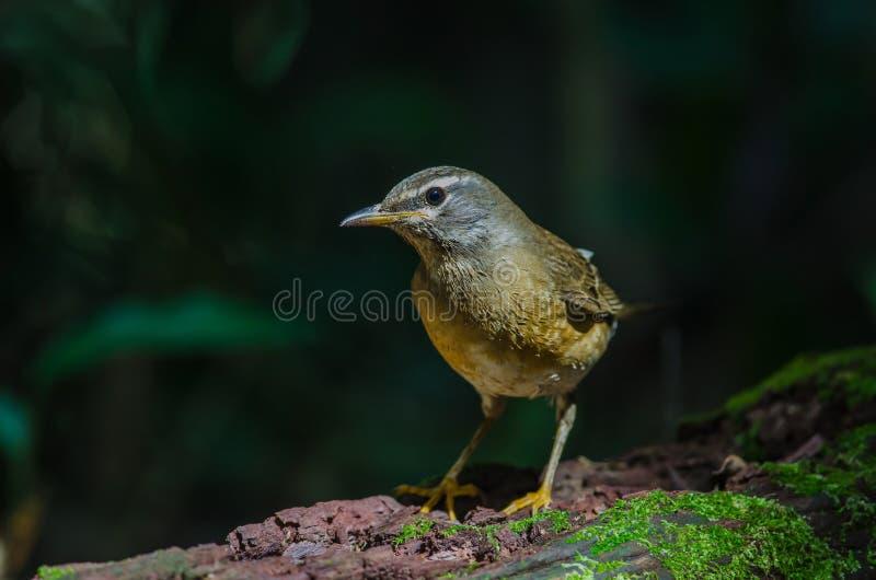 Oiseau de grive d'Eyebrowed et x28 ; Obscures& x29 de Turdus ; photographie stock