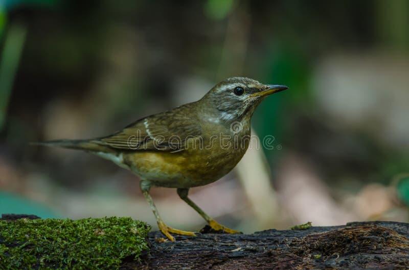Oiseau de grive d'Eyebrowed et x28 ; Obscures& x29 de Turdus ; photos libres de droits