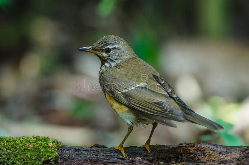 Oiseau de grive d'Eyebrowed et x28 ; Obscures& x29 de Turdus ; images libres de droits