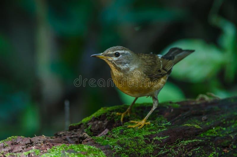 Oiseau de grive d'Eyebrowed et x28 ; Obscures& x29 de Turdus ; images stock