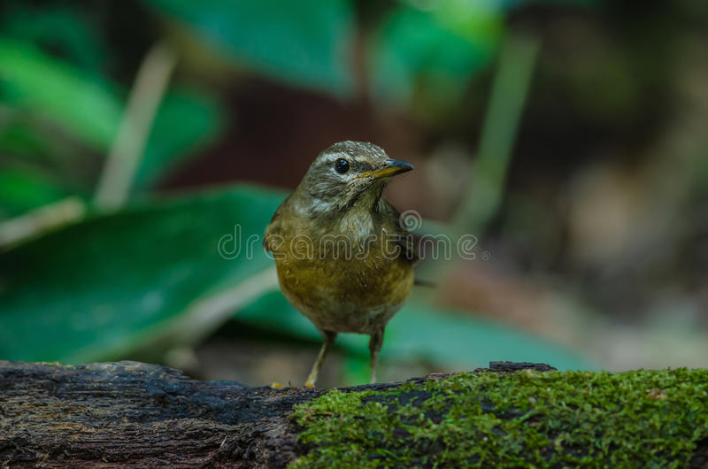 Oiseau de grive d'Eyebrowed et x28 ; Obscures& x29 de Turdus ; photographie stock libre de droits