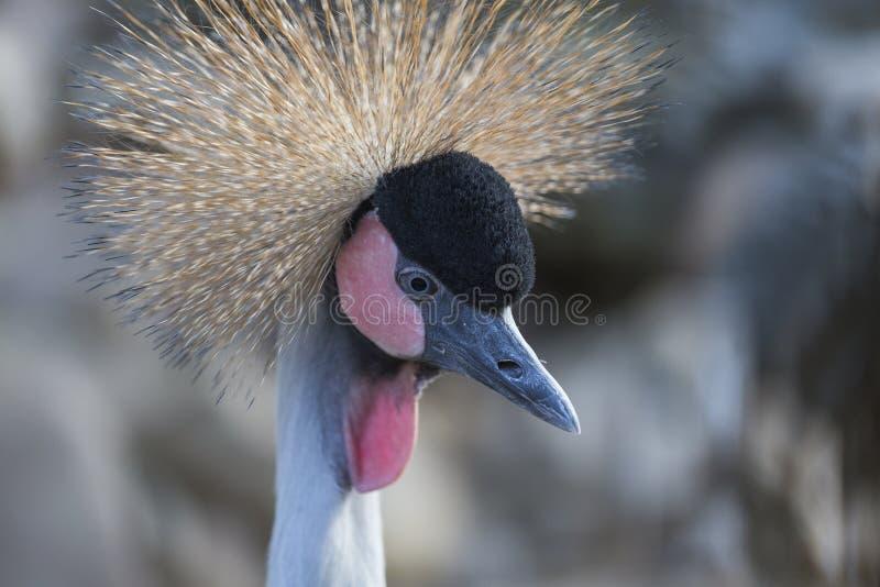 Oiseau de grue couronné par gris, regulorum de balearica photo libre de droits