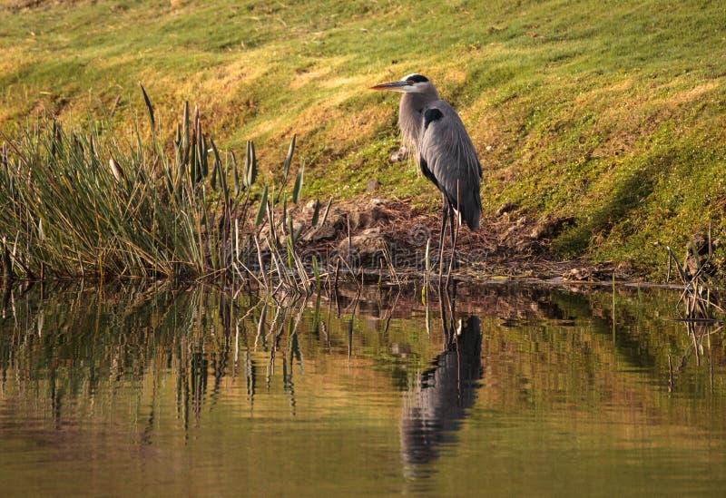 Oiseau de héron de grand bleu, herodias d'Ardea photos libres de droits