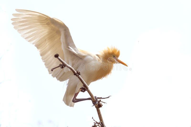 Oiseau de héron se reposant sur le fond blanc d'isolement par buissons en bambou d'arbre photo stock