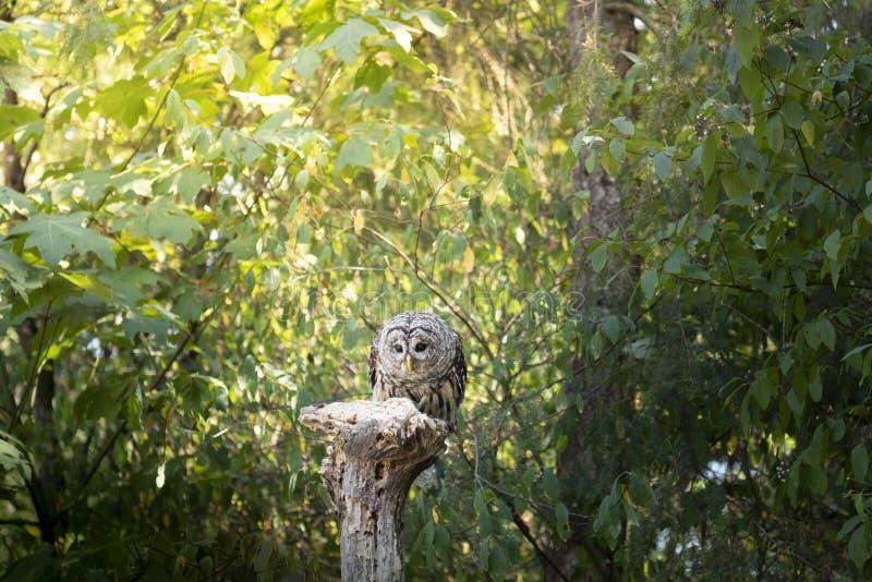 Oiseau de hibou barré de proie dans le Canada photographie stock libre de droits